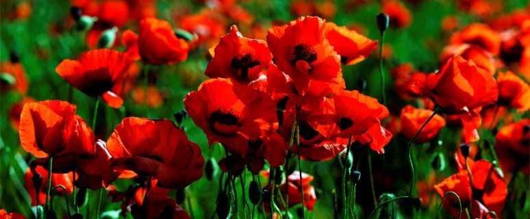 цветы_маки