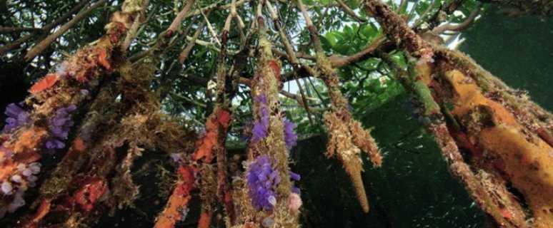 щит планеты - мангровые леса